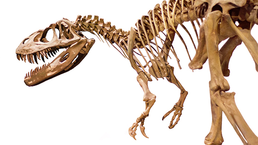 Dinosaur skeleton on white isolated background.